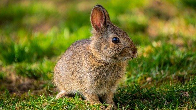 Is rabbit poop good fertilizer?